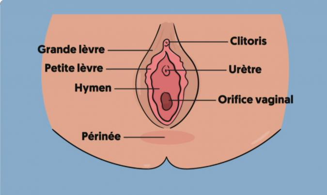 Schéma sexe féminin