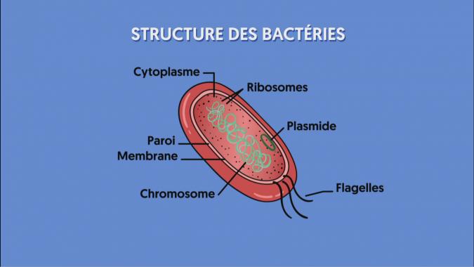 Une bactérie